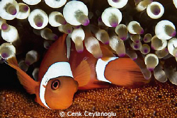 Clownfish and eggs by Cenk Ceylanoglu